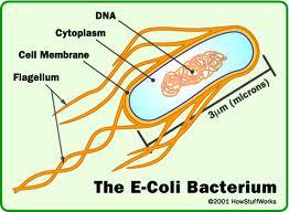 e.coli-batterio