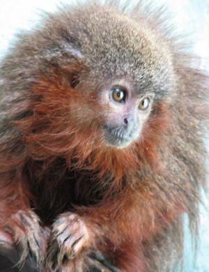 scimmia che fa le fusa callicebus caquetensis