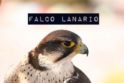 falco-lanario