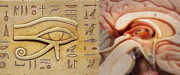 horus ecervello umano