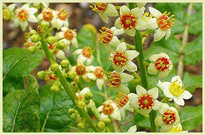 boswellia-sacra