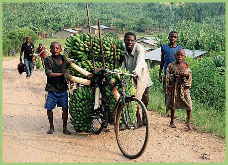 banane-gm-uganda