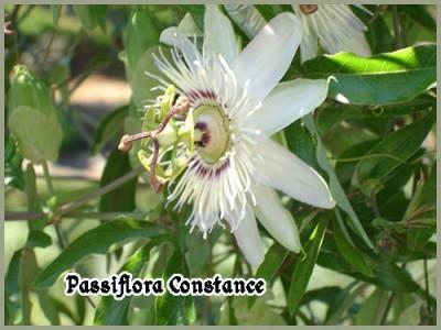 passiflora-constance